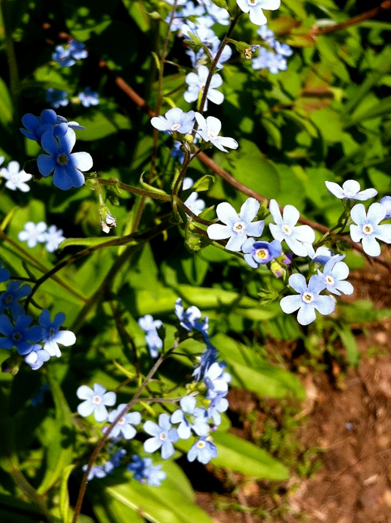 Forget-me-not flowers on Bald Mountain, Utah